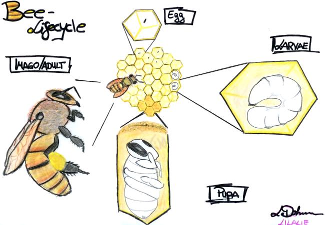 Leonie Dohmen Bee Lifecycle