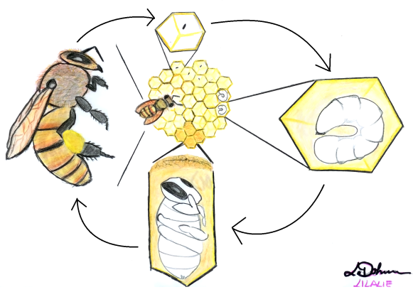 leonie-dohmen-bee-lifecycle